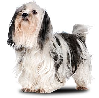 years chart for shih tzu pets n more top 10 breeds that live the