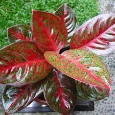 menanam tanaman keladi red star situsbungacom