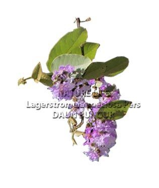 Bubuk Serbuk Daun Insulin Yakon 12 Kg daun bungur lagerstroemiae speciosae folium nature naturelifeshop
