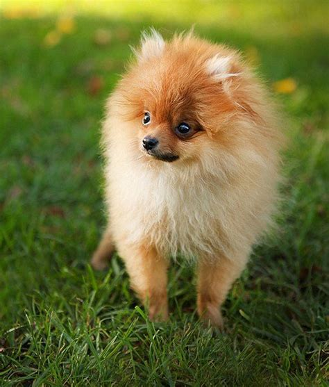 everything you need to about pomeranians image gallery small pomeranian