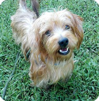 yorkie rescue ga goober adopted commerce ga yorkie terrier mix