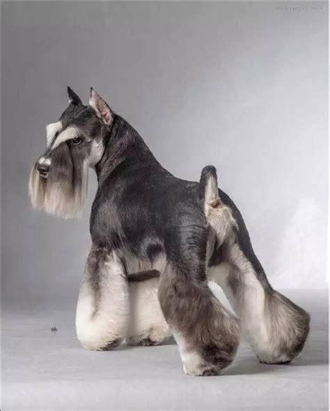 asian style schaunzer hair trim https www facebook com photo php fbid 10208910652717440