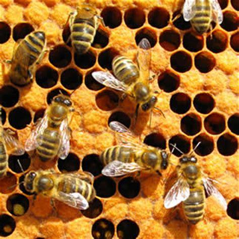 Sociedade das abelhas. Como funciona a sociedade das
