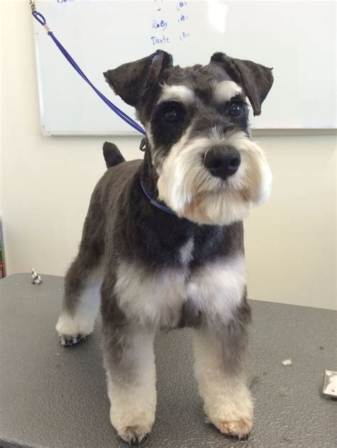 schnauzer cuts pictures 25 best ideas about schnauzer grooming on pinterest