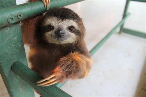 Jual Hewan Kaskus sloth hewan pemlas yang hir punah kaskus