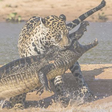 how strong is a jaguar day in the