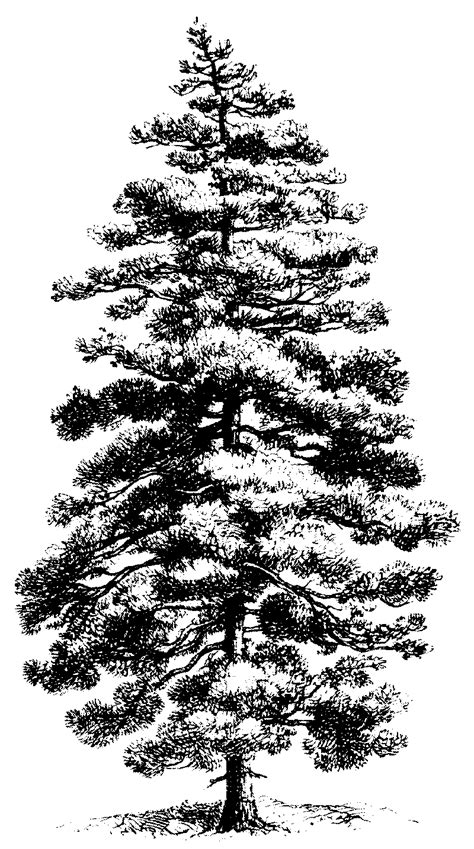 free pine tree clip art pictures clipartix