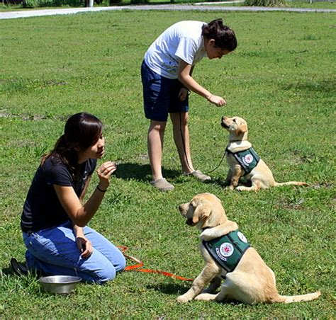 puppy exercise early puppy legacy labradors