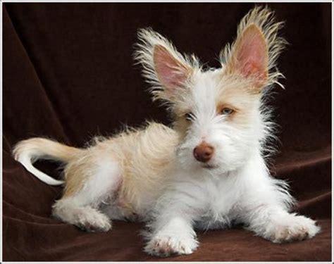 portuguese podengo puppies portuguese podengo puppies rescue pictures temperament characteristics animals