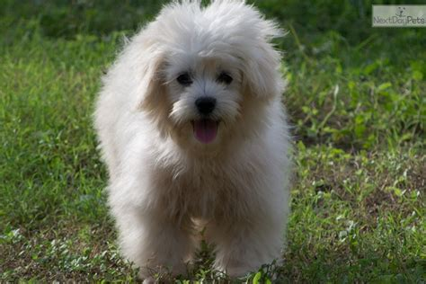 maltipoo puppies for sale near me malti poo maltipoo puppy for sale near mcallen edinburg 232cf149 9f61