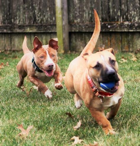 pitbull weiner pitbull dachshund mix guide temparament and the popular dox bull rami