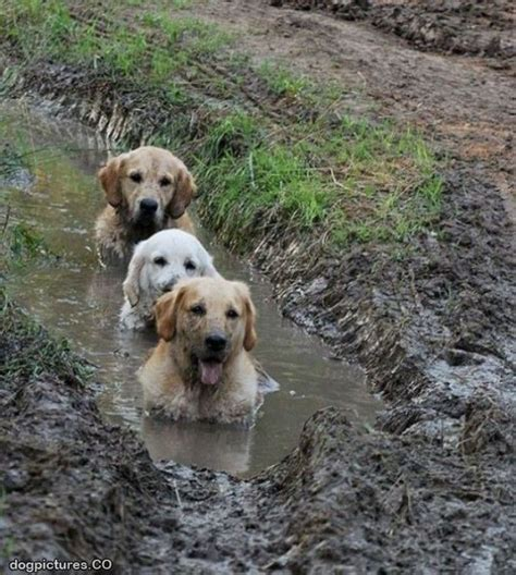 mud dogs the mud dogs pictures