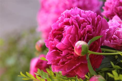 wallpaper bunga peony gambar mekar menanam daun bunga berwarna merah muda