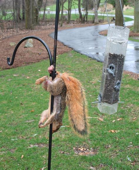 squirrel hung by nuts белка с яйцами фото