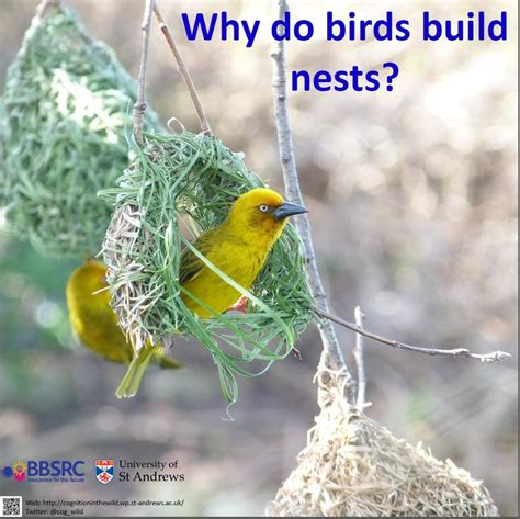 top 28 why do birds build nests alyssa satin capucilli