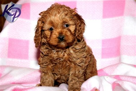 cavapoo puppies pa 17 best images about cavapoo puppies on puppys and blossoms