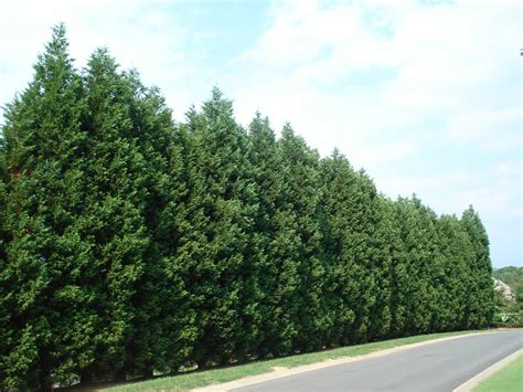 is leyland cypress still the tree to plant i think not 12 reasons proving leyland cypress trees are best fast