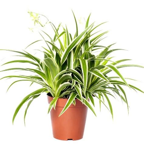 buy chlorophytum plant variegated    price