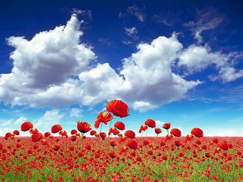 imagenes flores de jardin flores rojas de jard 237 n hd derechos im 225 genes fondos de