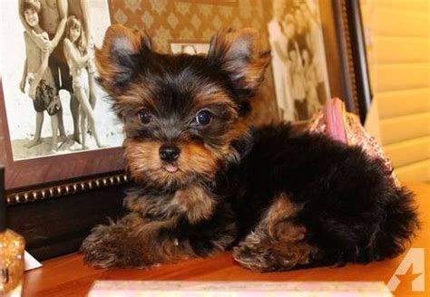 4 lb yorkie tiny teacup yorkie puppy 2 approx 3 4 lb for sale in san jose california