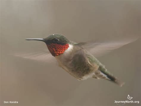 where when and how do ruby throated hummingbirds migrate
