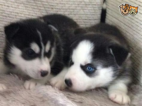 pomsky puppies for sale colorado beautiful pomsky puppies for sale ready now swansea swansea pets4homes
