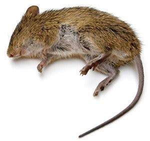 dead rat smell how to get rid of dead rat smell learn how to