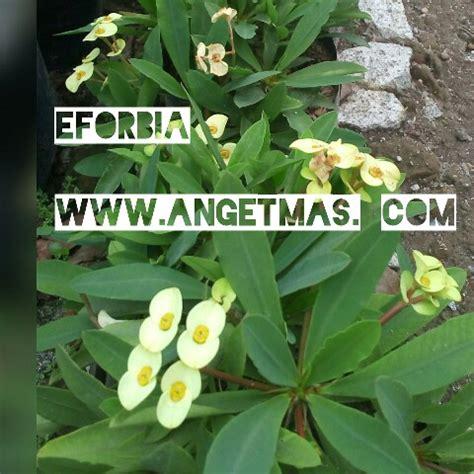 Bibit Euphorbia bibit tanaman bunga eforbia anget anget