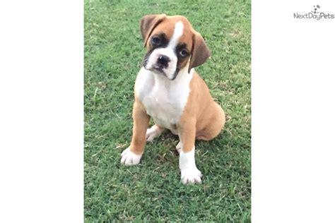 boxer puppies dallas lexy boxer puppy for sale near dallas fort worth 64238783 8b61