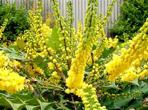 Petit Arbuste Fleuri by Mahonia Un Bel Arbuste Parfum 233 Persistant Et Fleuri En Hiver