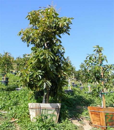 size fruit trees for sale 1000 ideas about hass avocado tree on avocado