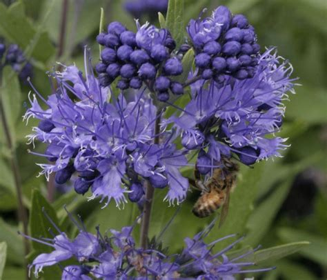 Autumn Flower by Caryopteris X Clandonensis Heavenly Blue Lambley Nursery