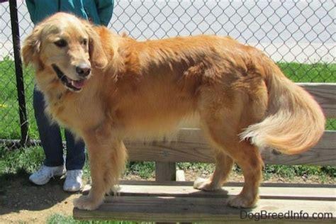 2 year golden retriever golden retriever breed pictures 2