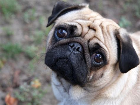 haired pug puppies dogs pug