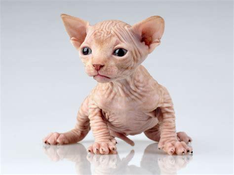 imagenes egipcias de gatos curiosidades sobre los gatos esfinge