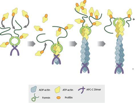 protein f aktin actin nucleators