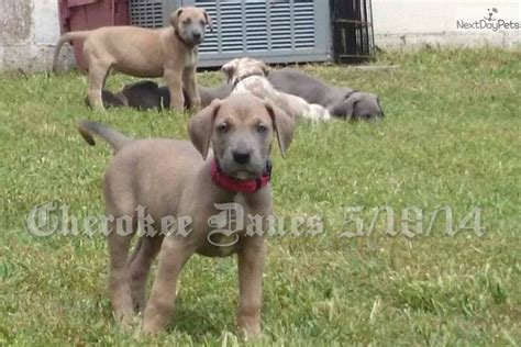 great dane puppies for sale in oklahoma great dane puppy for sale near tulsa oklahoma 1c676134 6151