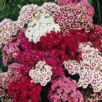 Bibit Bunga Dianthus Carpet 50 Butir Benih bibit bunga sweet william