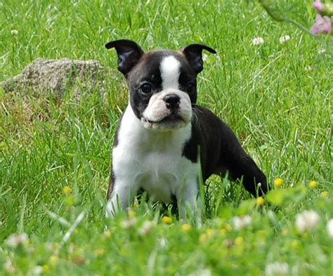 white american bulldog puppy black and white american bulldog boston terrier puppy on the grass png
