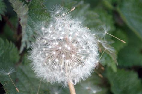 dandelion seeds   fluffy white  hunker