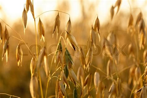 avaine photographs oat up in the field on evening glow stock photo
