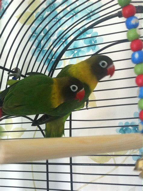 2 yellow collared baby love birds for sale cage