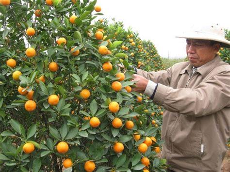 kumquat trees new year tramie s kitchen mango shrimp salad