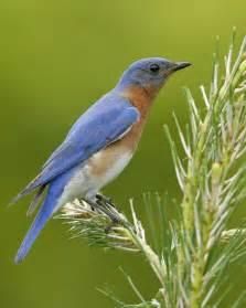 eastern bluebird audubon field guide