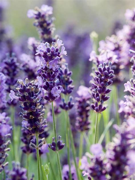 Lavender Buds by Lavender Buds Hgtv