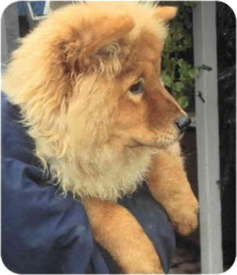 chow chow mix golden retriever angie adopted puppy adoption pending sacramento ca chow chow golden retriever mix