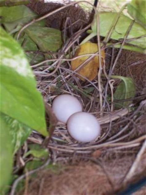 morning doves nesting   hanging plants