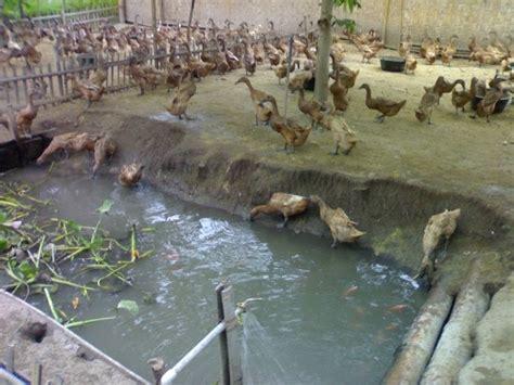 Bibit Itik Tegal budidaya dan ternak ternak itik petelur