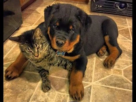 rottweiler the cat so much rottweiler puppy the cat so much