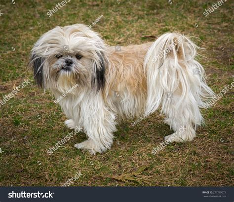 scruffy shih tzu small unkempt scruffy shih tzu stock photo 277719071